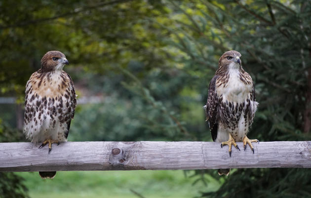 Bird of the Month, February 2020 - Red-tailed Hawk