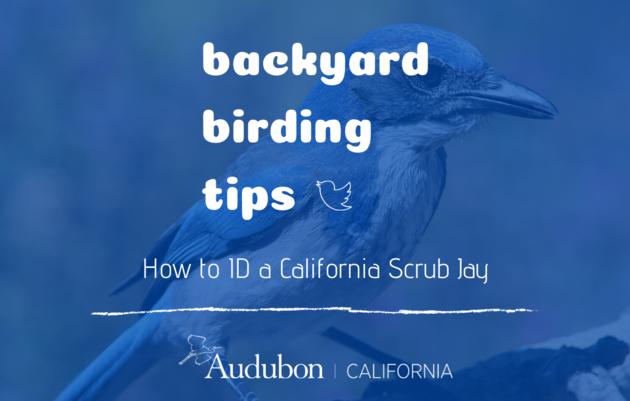 Backyard Birding Tips: How to ID a California Scrub Jay