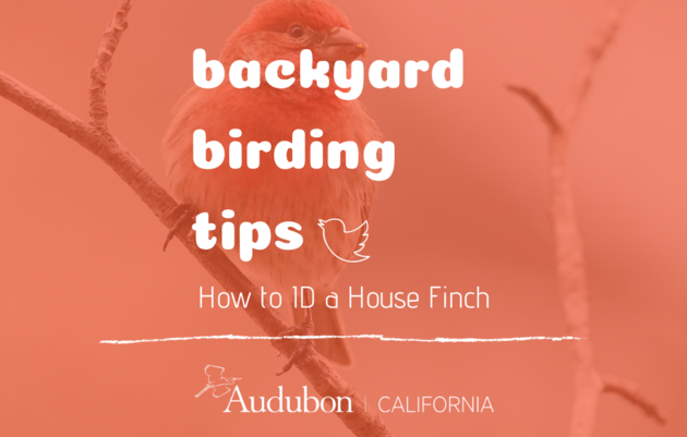 Backyard Birding Tips: How to ID a House Finch