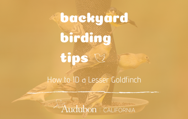 Backyard Birding Tips: How to ID a Lesser Goldfinch