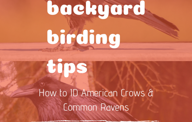 Backyard Birding Tips: How to Identify American Crows & Common Ravens