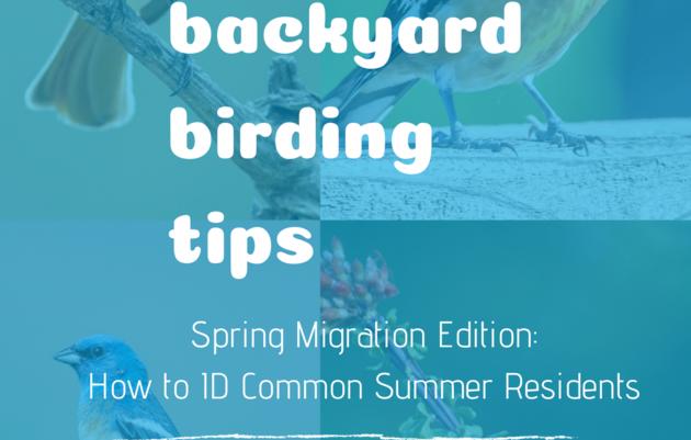 Backyard Birding Tips: How to Identify Common Summer Residents