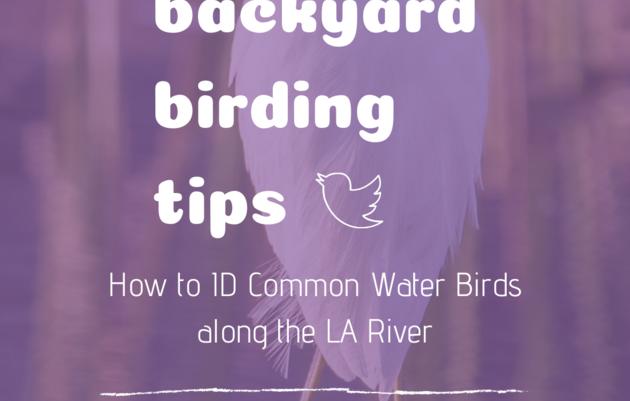 Backyard Birding Tips: How to ID Common LA River Birds