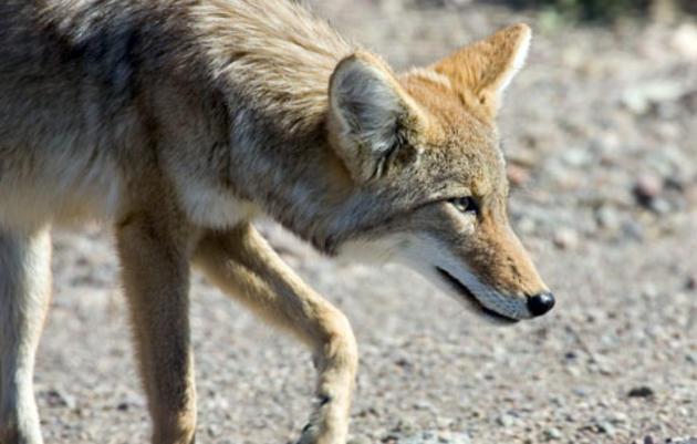 The LA Urban Coyote Project