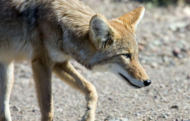 The LA Urban Coyote Project