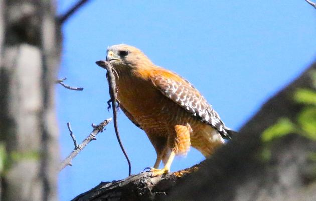 Debs Park Bird Photography