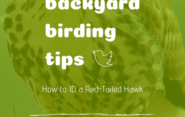 Backyard Birding Tips: How to ID a Red Tailed Hawk
