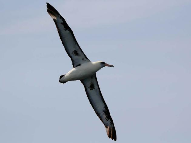 California congressman introduces bill to reduce seabird deaths