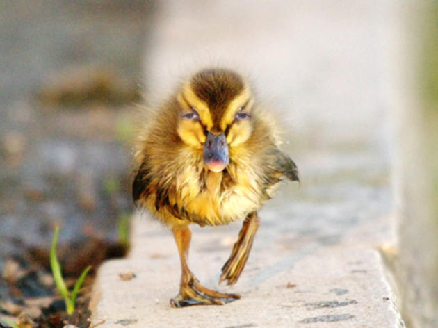A different kind of bird: meet the duck (curve)