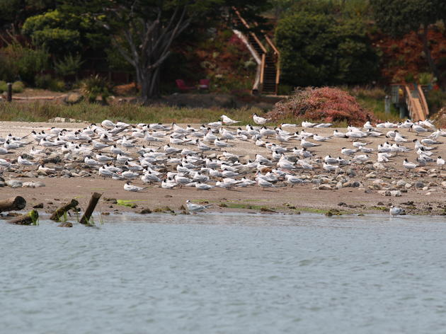 Elegant Terns changing breeding habits in response to warm water in Mexico