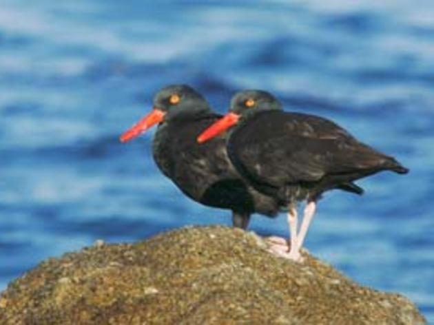 Protecting Black Oystercatchers along the Monterey Coast
