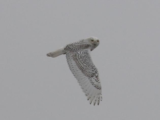 Rare bird alert: Snowy Owl in Humboldt County