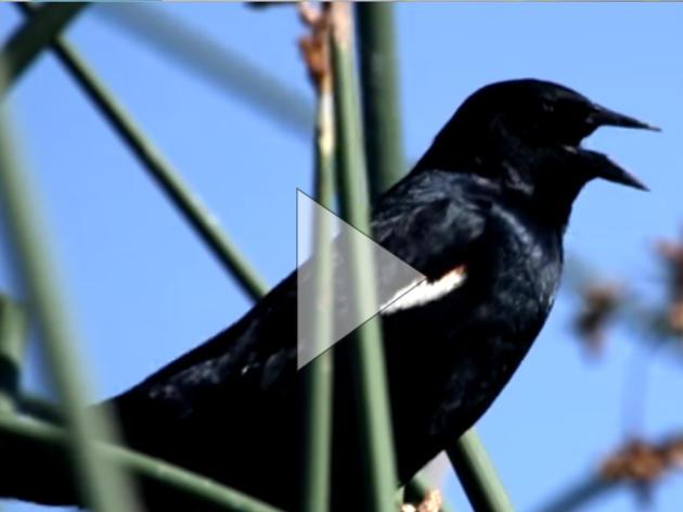 Protecting California's Tricolored Blackbird