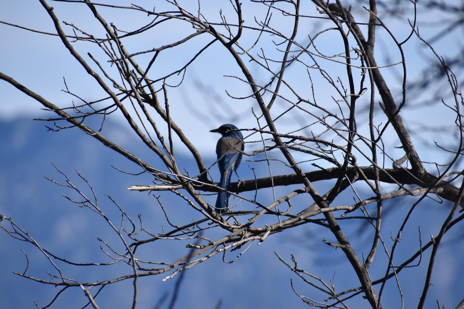 California Scrub Jay in trees.