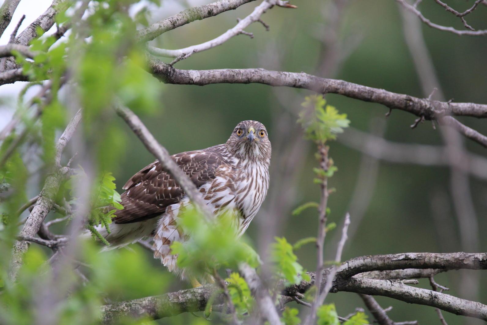 Cooper's Hawk in Debs Park