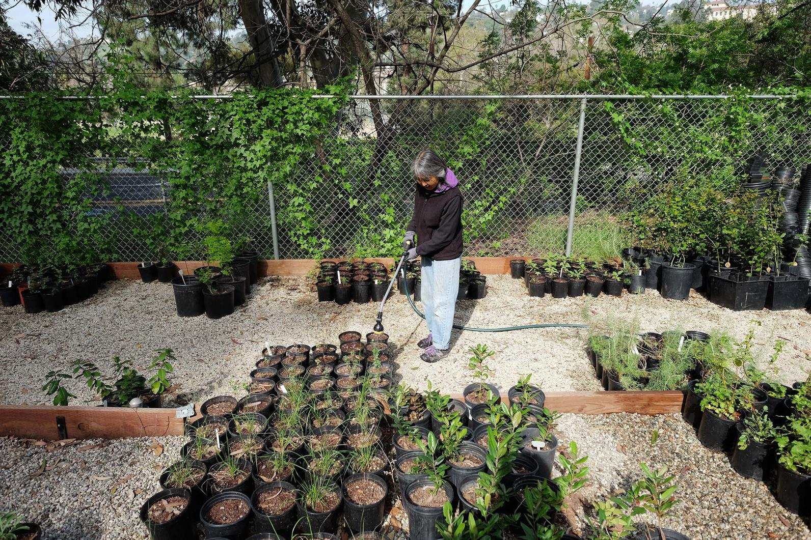 Maintaining native plants in the Los Nogales Nusery