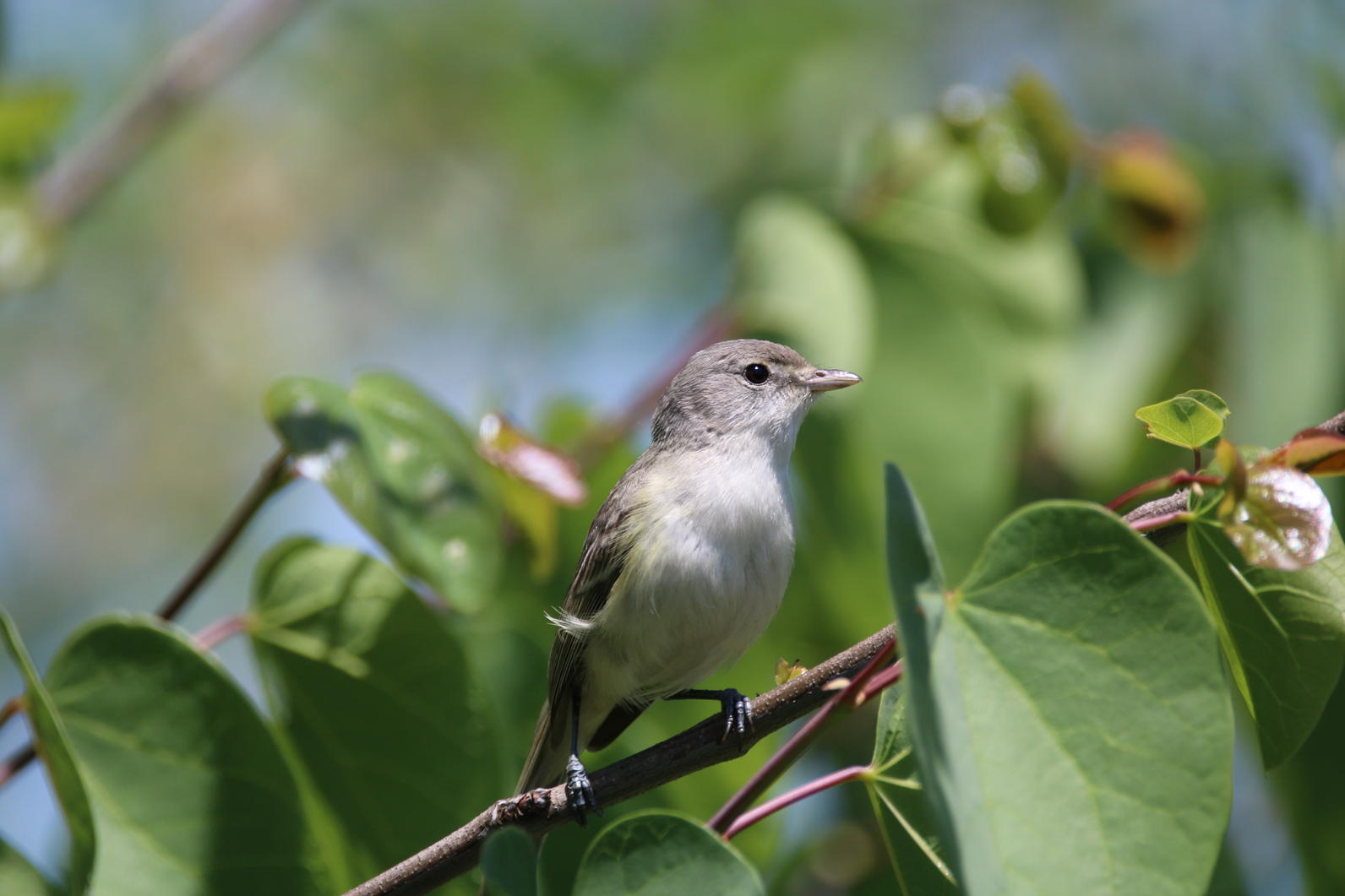 Least Bell's Vireo at Rio de Los Angeles State Park