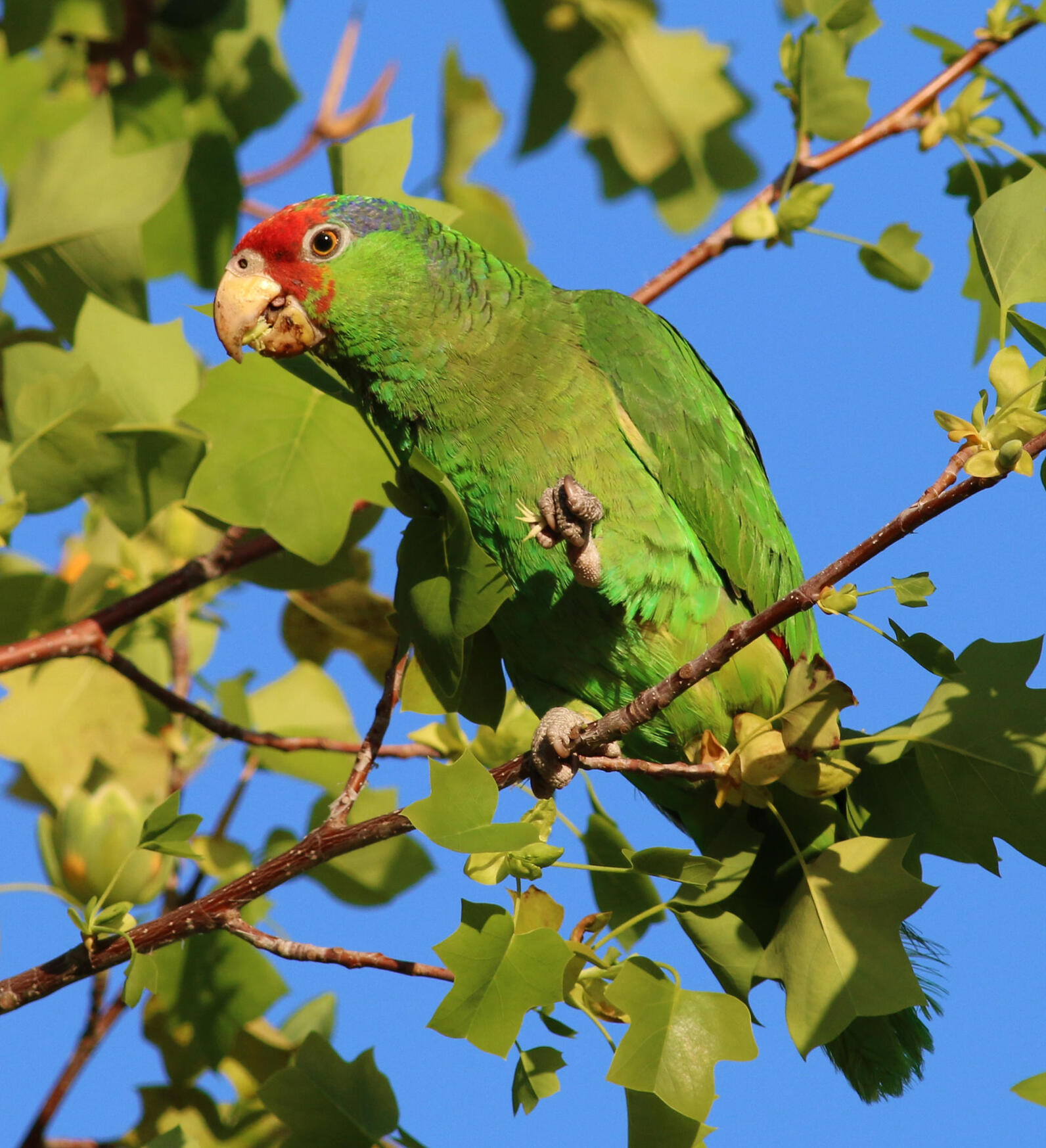 Red-crowned parrot in tree