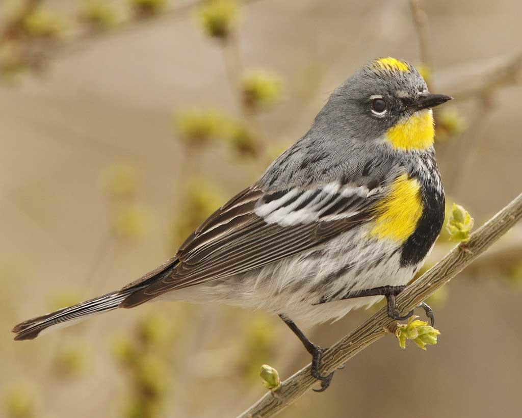 Bird of the Month, October 2019 - Yellow-rumped Warbler