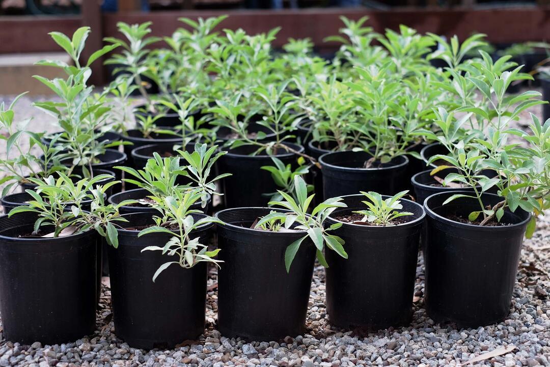 Native Plants in Los Nogales Nursery